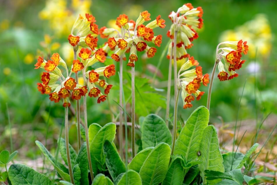 About Cowslip Flowers