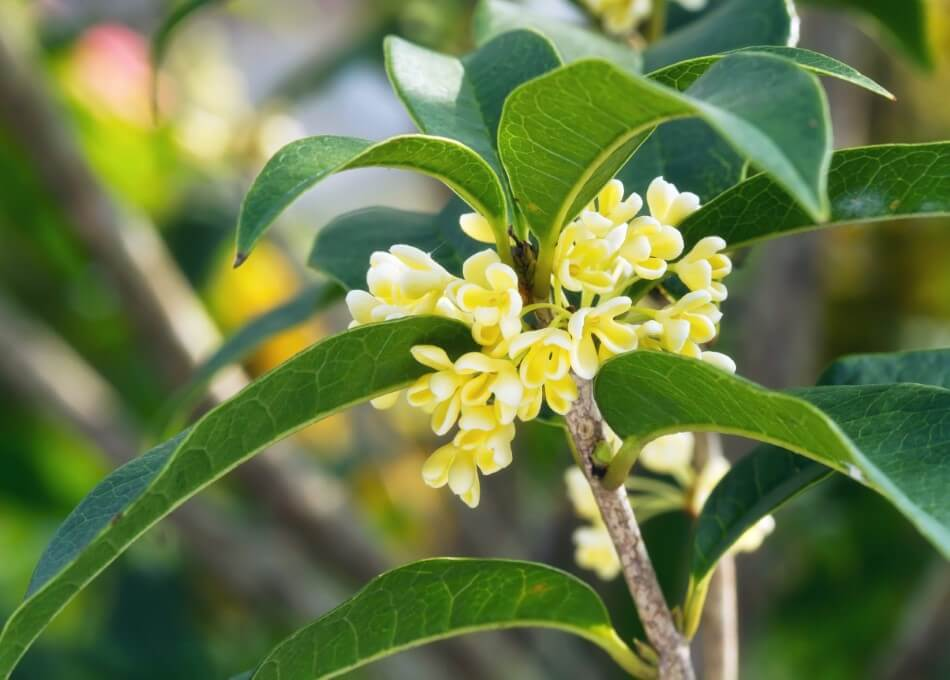 About Osmanthus Flowers