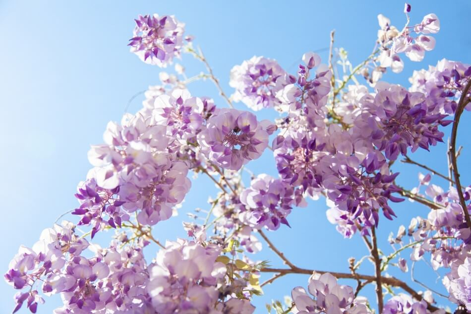 About Wisteria Flowers