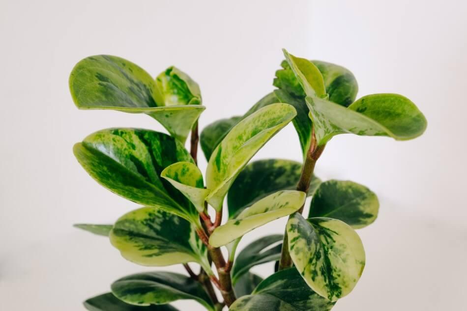 Baby Rubber Plant (Peperomia obtusifolia)