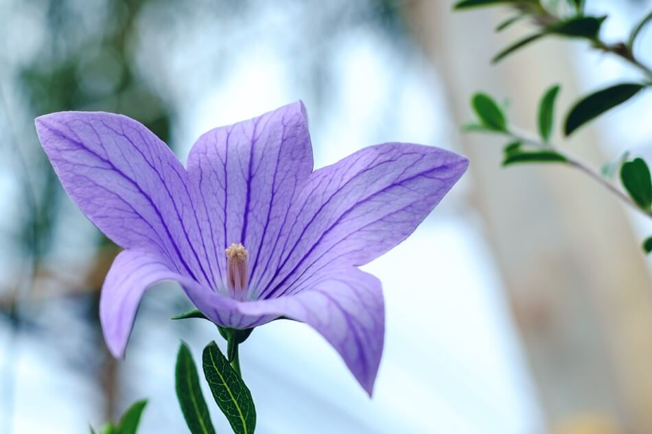 Balloon Flower Meaning & Symbolism