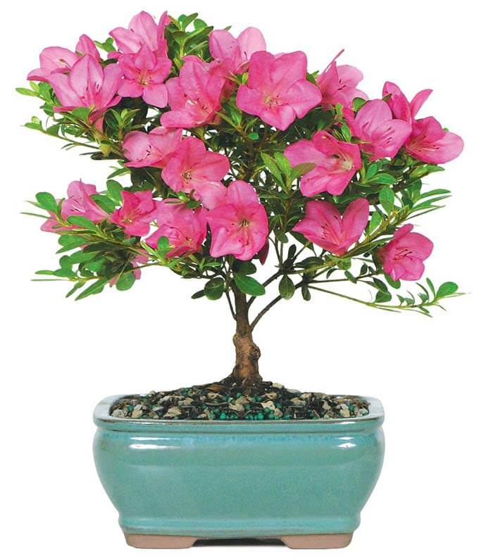 Bonsai Tree Same Day Delivery FromYouFlowers