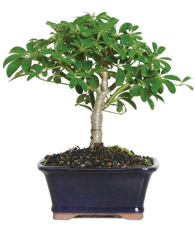 Bonsai Trees for Sale at FromYouFlowers