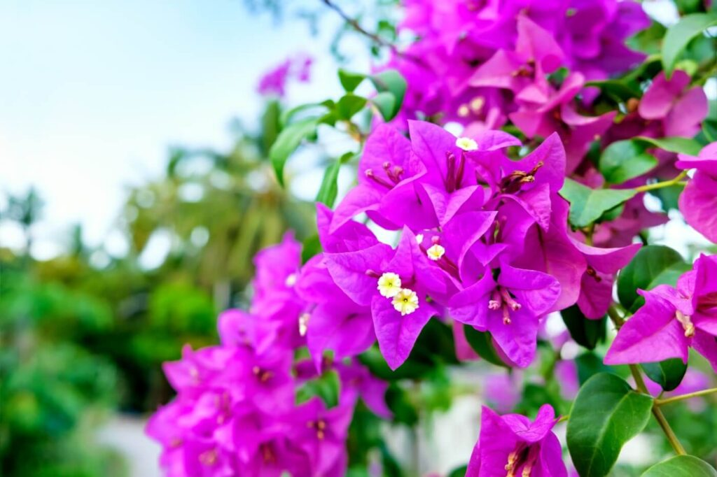 Bougainvillea Flower Symbolism, Uses, and Benefits