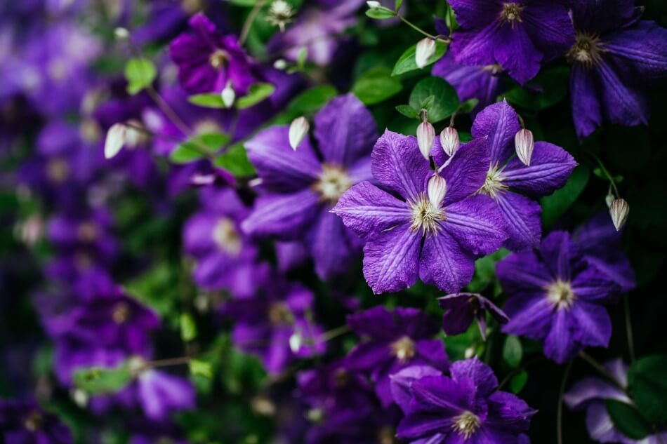 Clematis Flower Meaning & Symbolism