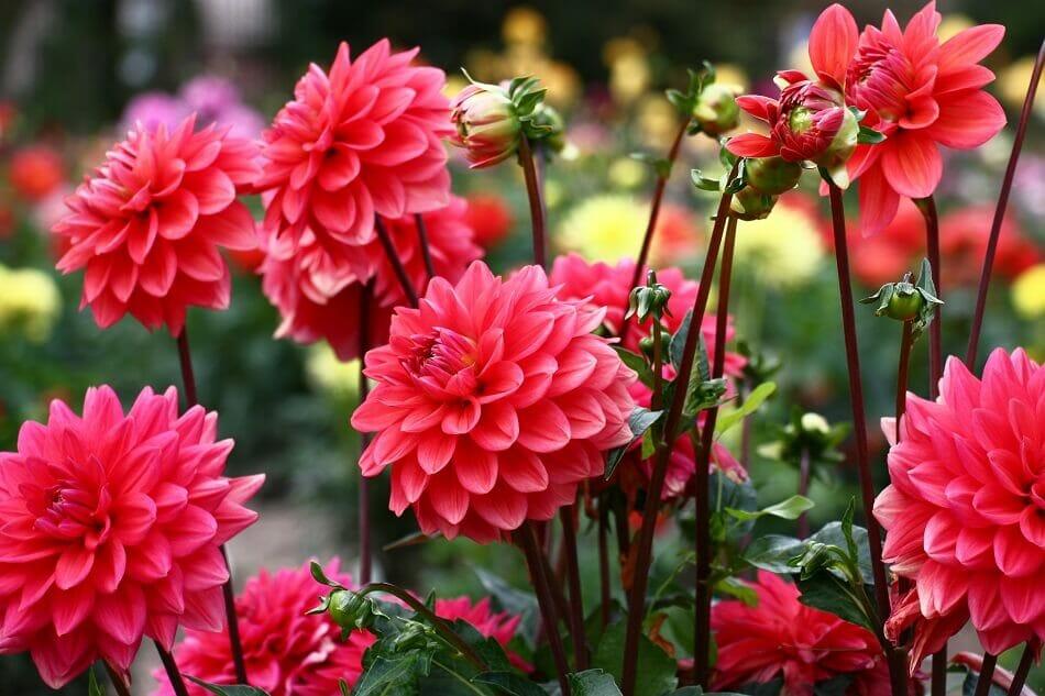 Dahlia flowers for August birthdays