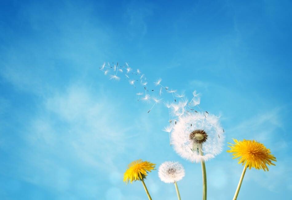 Dandelion Flower Meaning & Symbolism