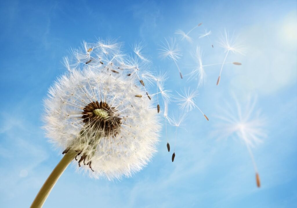 Dandelion Flower Symbolism, Uses, and Benefits