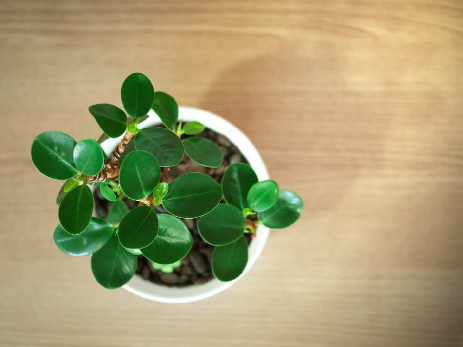 Ficus Audrey (Ficus benghalensis)