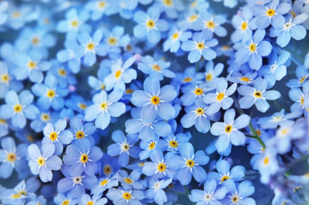 Forget-Me-Not Flower Symbolism, Uses, and Benefits