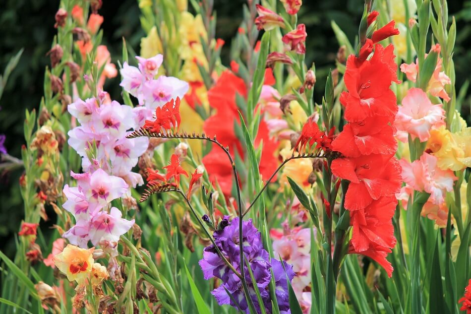 Gladiolus flower for August birthdays