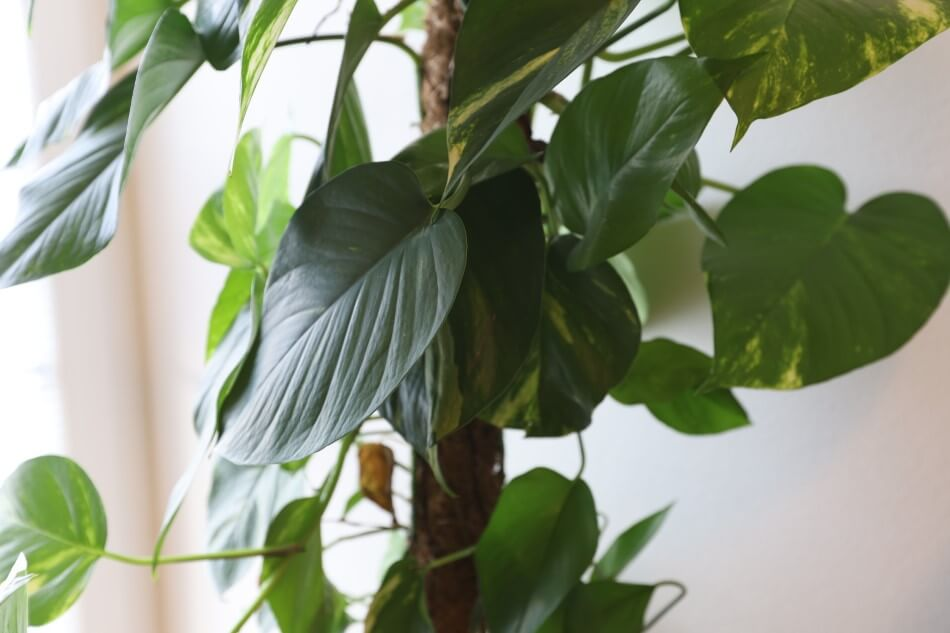 Heartleaf Philodendron (Philodendron cordatum)