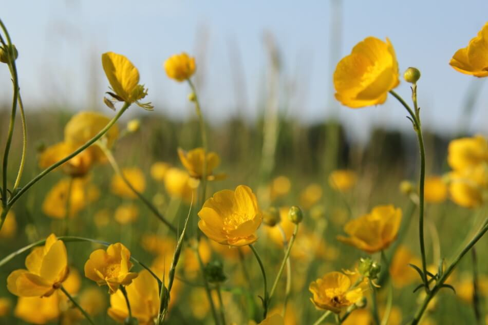 How to Grow and Care for Buttercup Flowers at Home