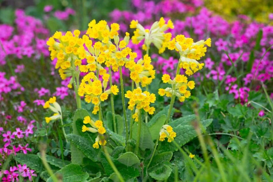 How to Grow and Care for Cowslip Flowers at Home