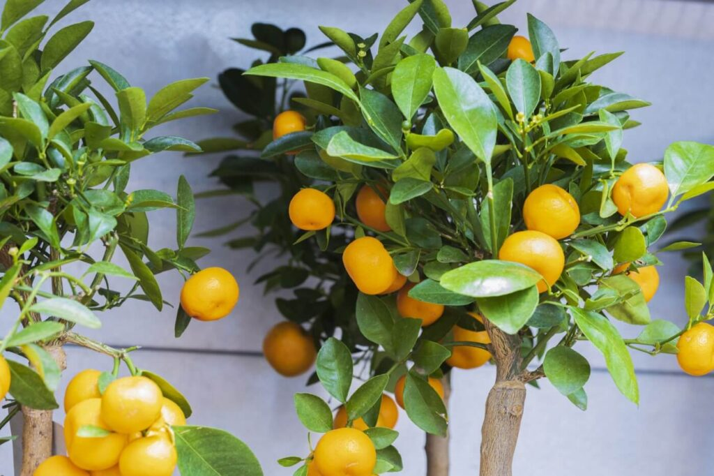 Indoor Citrus Tree Dropping Leaves (Causes & Cures)
