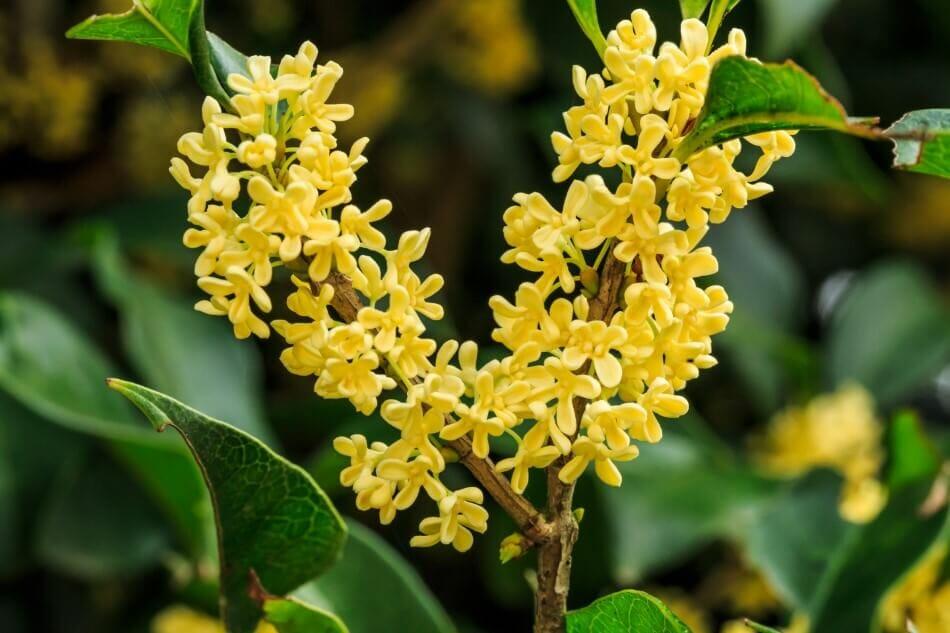 Osmanthus Flower Meaning & Symbolism