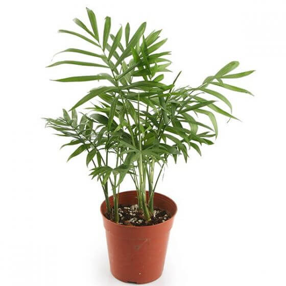 Parlor Palm Plant Dellivery from Nature Hills Nursery