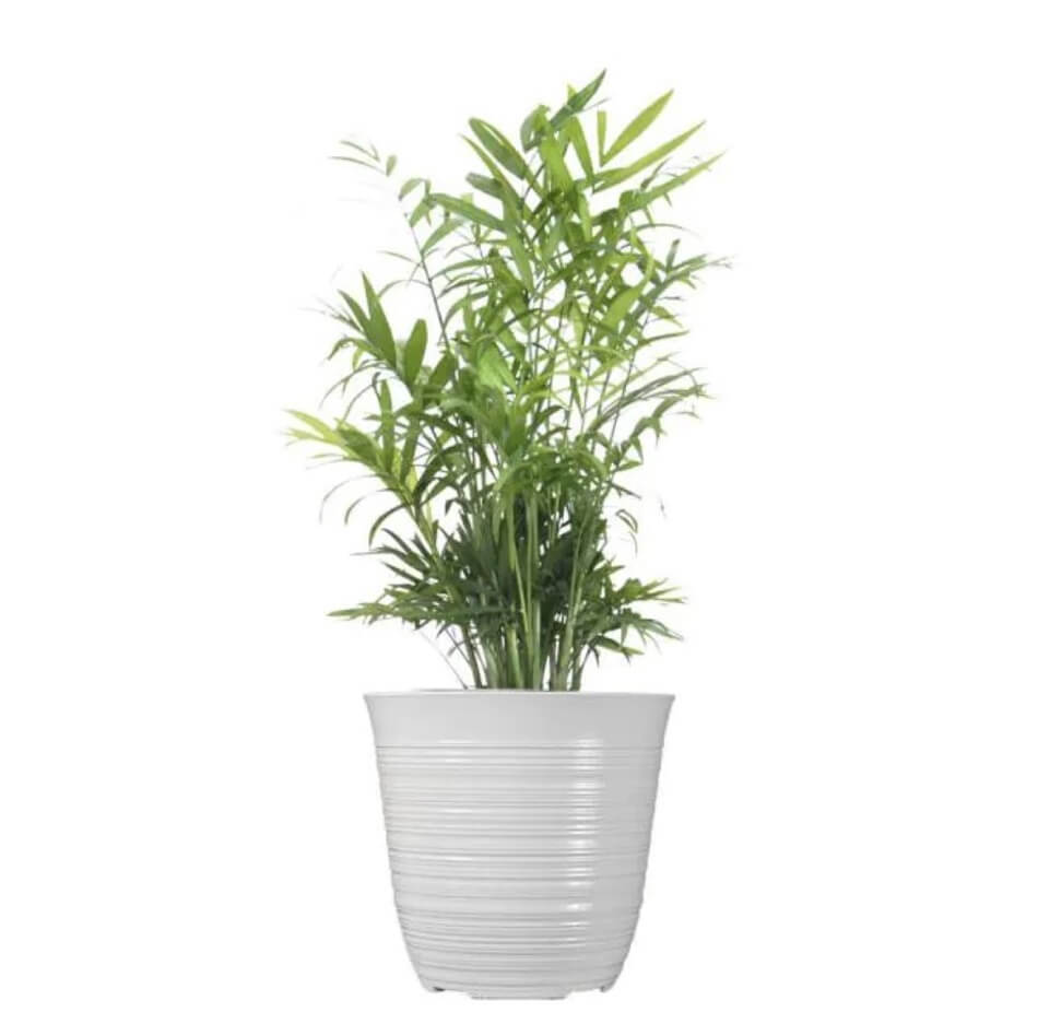 Parlor Palm Plants at Home Depot
