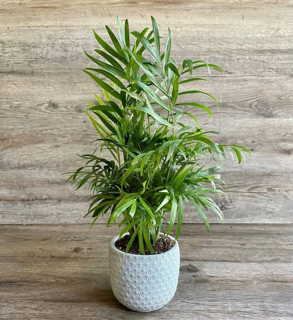 Parlor Palm Plants for Sale at Etsy