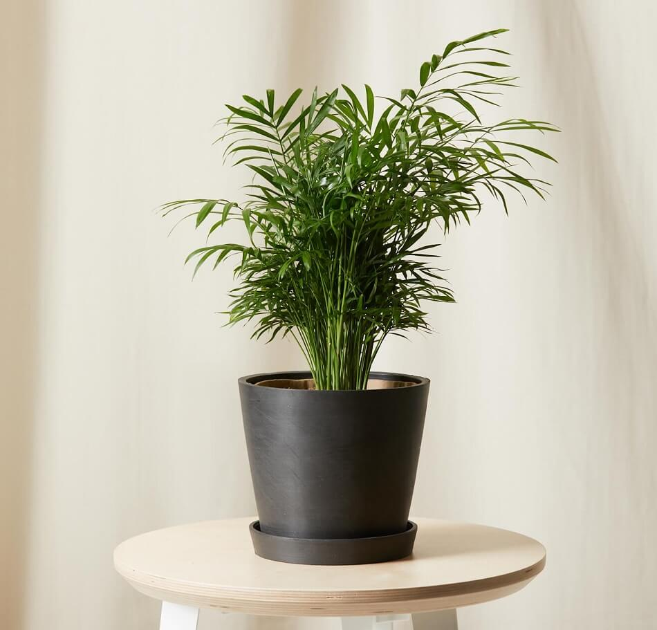 Parlor Palm Trees for Sale at Bloomscape