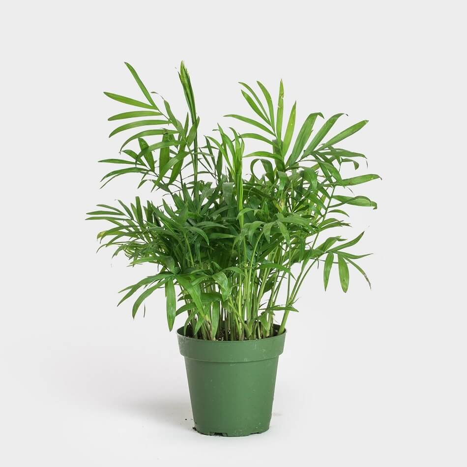 Parlor Palm Trees for Sale at Greenery Unlimited