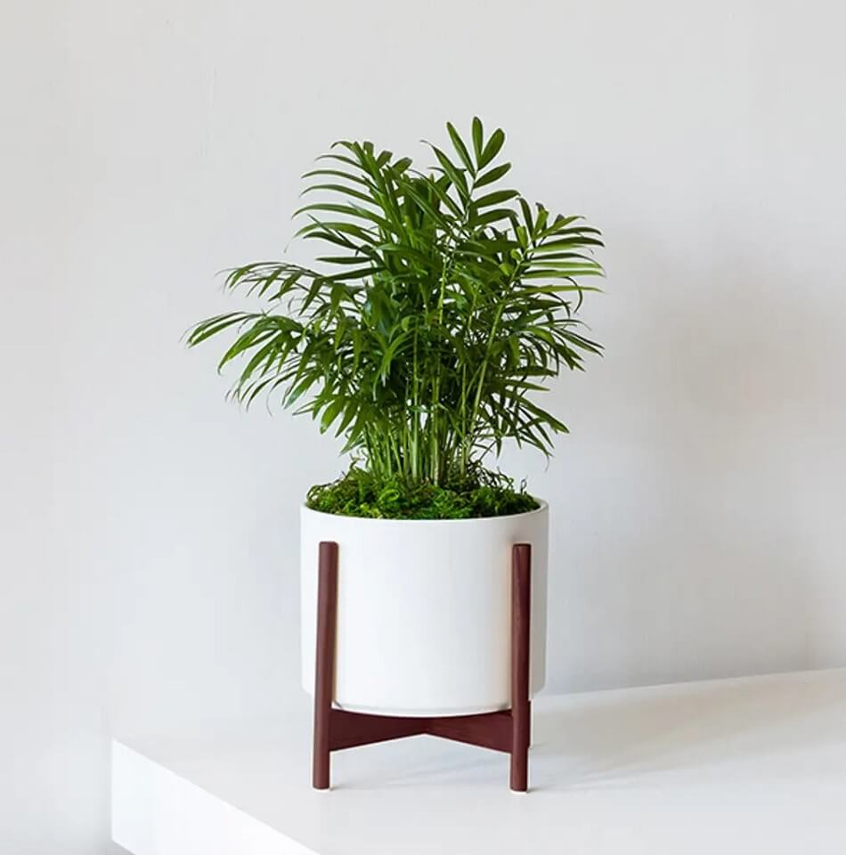 Parlor Palm Trees for Sale at Leon and George