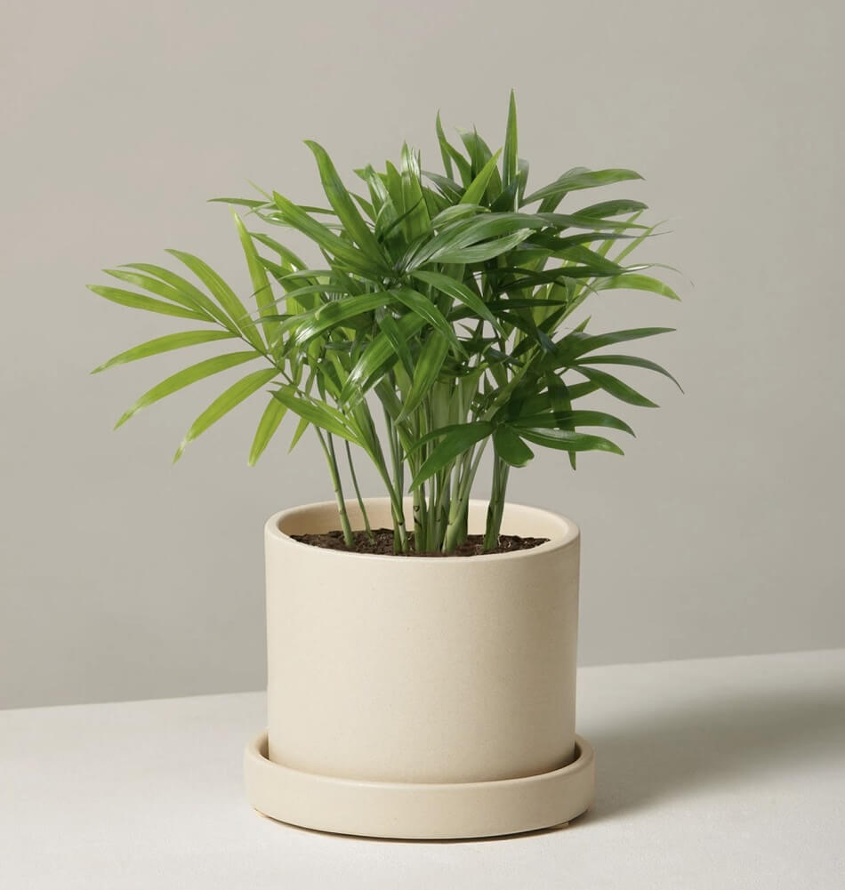 Parlor Palm Trees for Sale at The Sill
