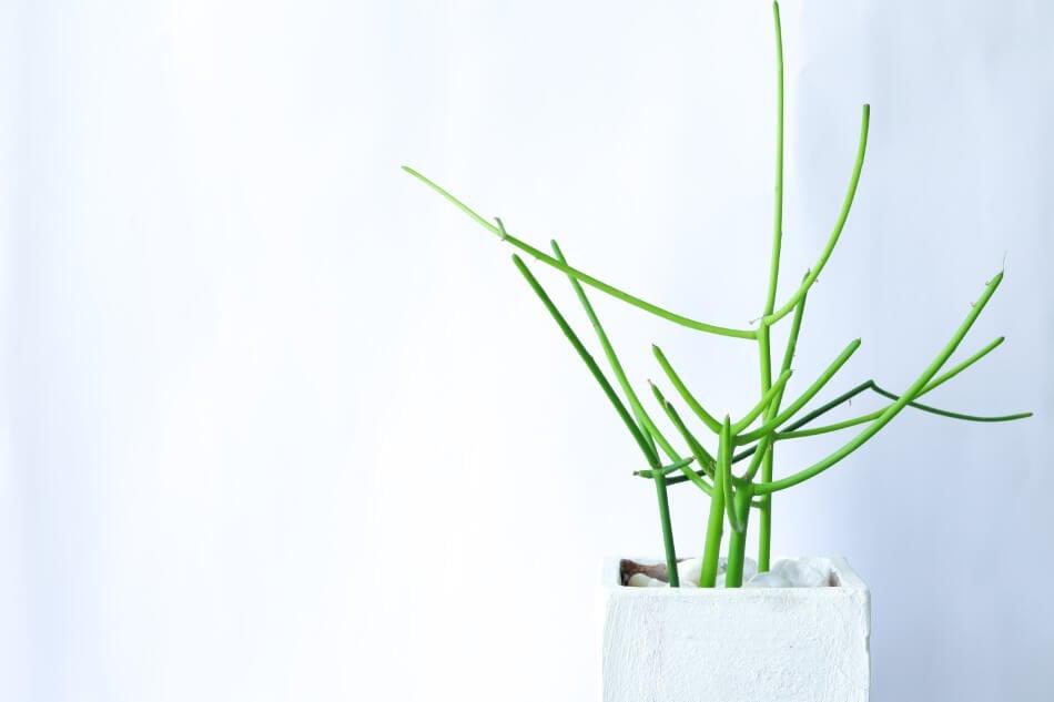 Pencil Cactus (Euphorbia tirucalli)