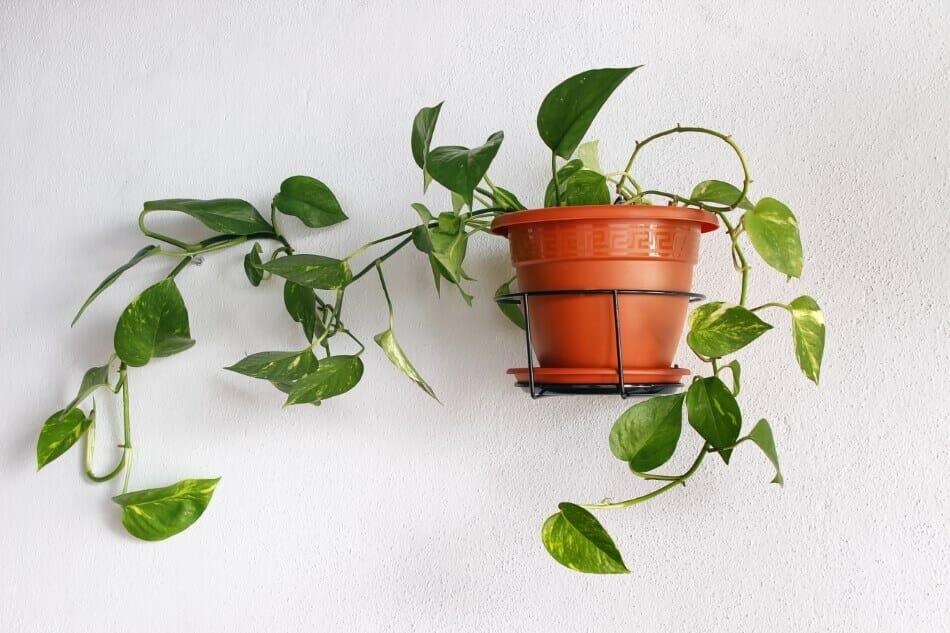 Pothos Jade (Epipremnum aureum)
