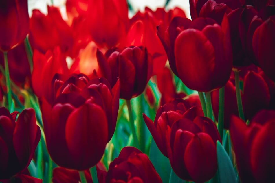 Red Flowers in the 1700s and Victorian Times