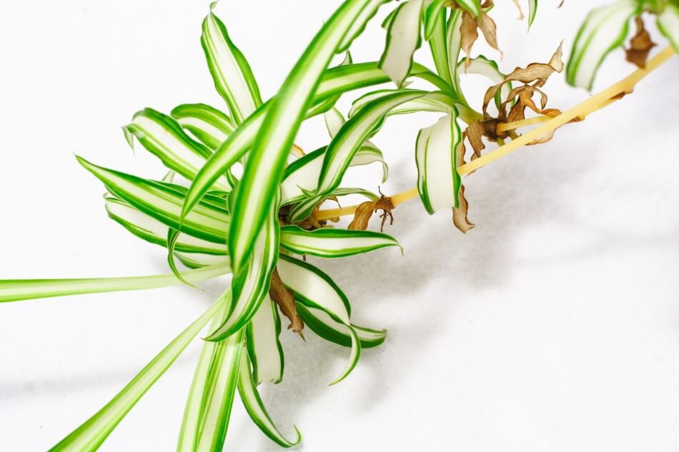 Signs You're Overwatering Your Spider Plant