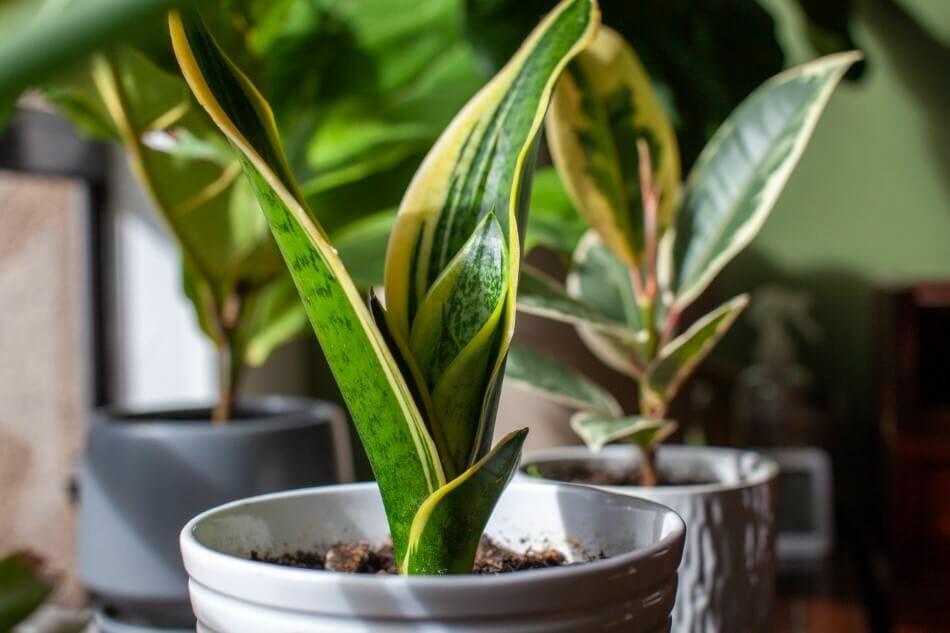 Snake Plant (Dracaena trifasciata)