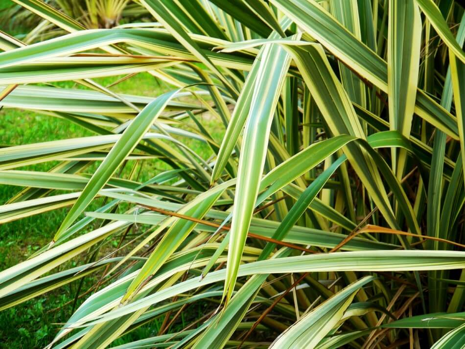 Spider Plant Light Conditions in Their Native Habitats