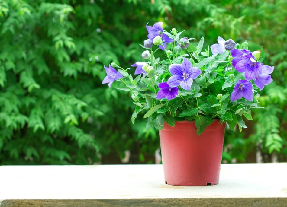 Suitable Gifting Occasions for Balloon Flowers