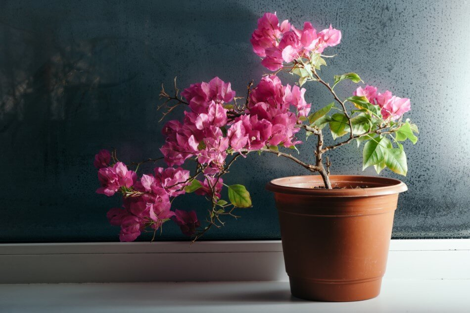 Suitable Gifting Occasions for Bougainvillea Flowers / Plants