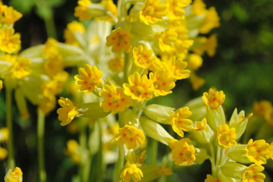 Suitable Gifting Occasions for Cowslip Flowers