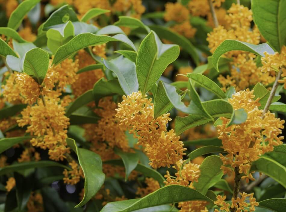 Suitable Gifting Occasions for Osmanthus Flowers