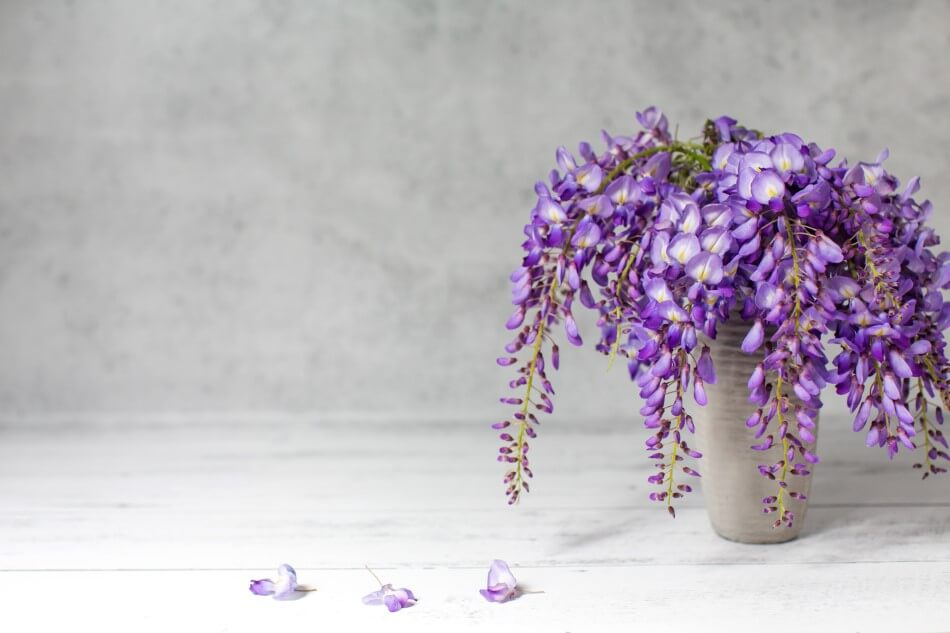 Suitable Gifting Occasions for Wisteria Flowers