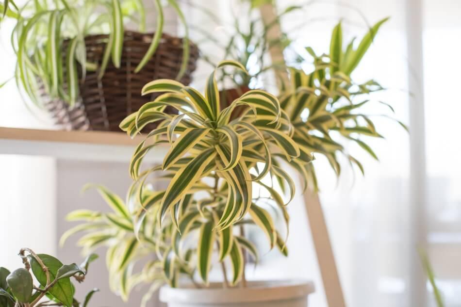The Best Light Exposure for Indoor Spider Plants