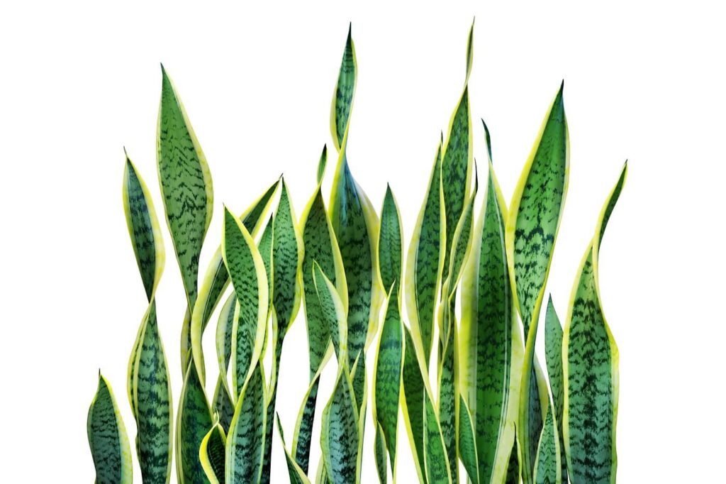 The Best Snake Plants for Sale in the USA