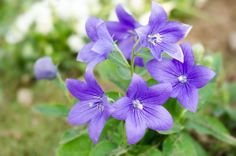 The Cultural Significance of Balloon Flowers