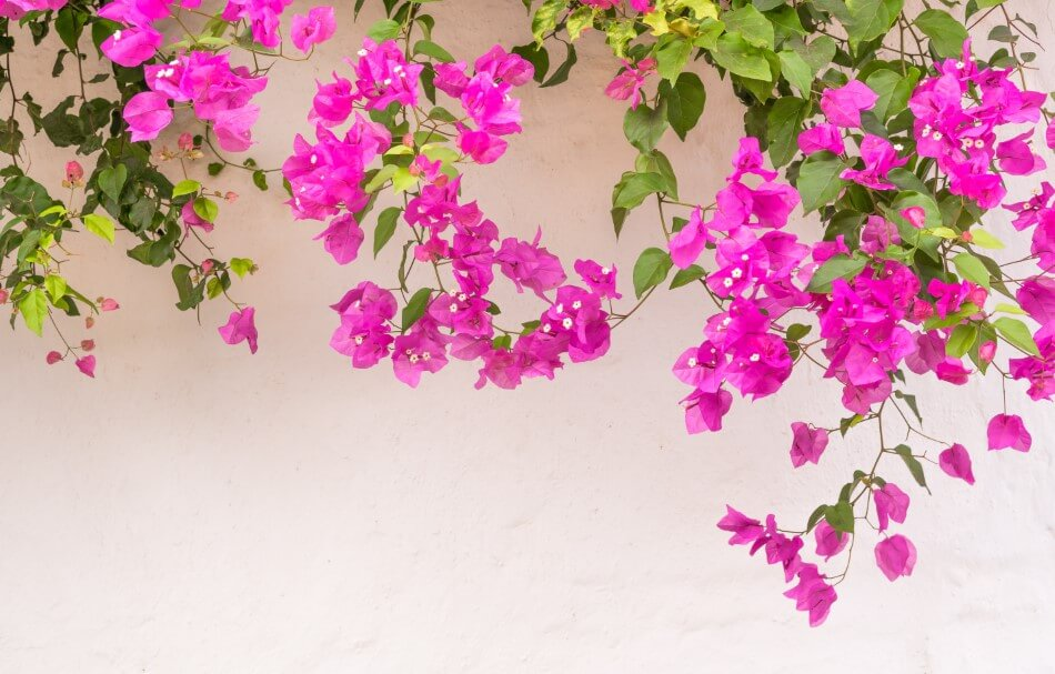 The Cultural Significance of Bougainvillea Flowers