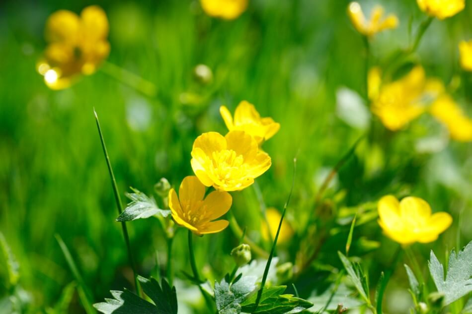 The Cultural Significance of Buttercup Flowers