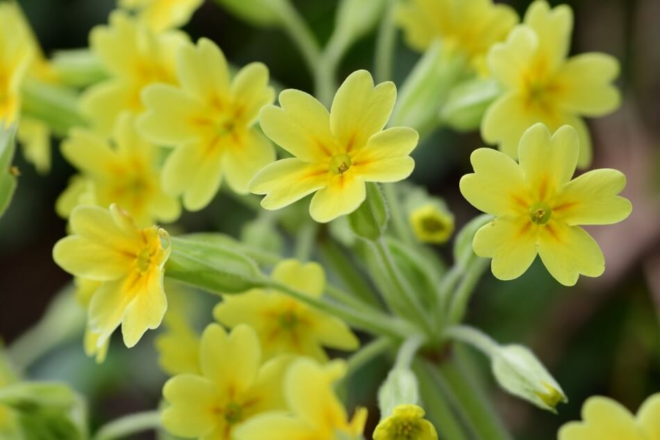 The Cultural Significance of Cowslip Flowers