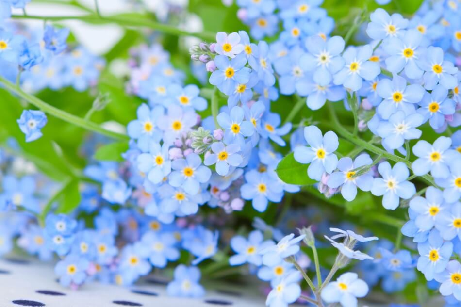 The Cultural Significance of Forget-Me-Not Flowers