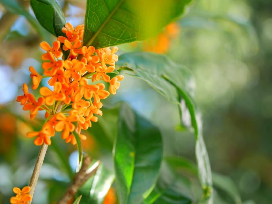 The Cultural Significance of Osmanthus Flowers