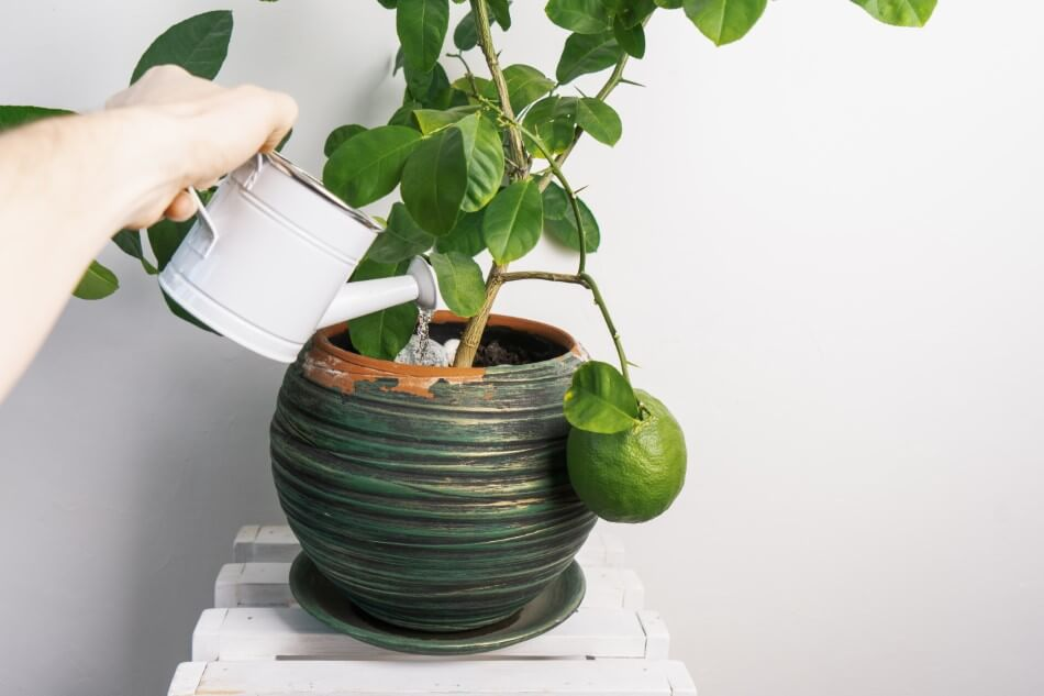 Things to Consider When Watering Indoor Citrus Trees