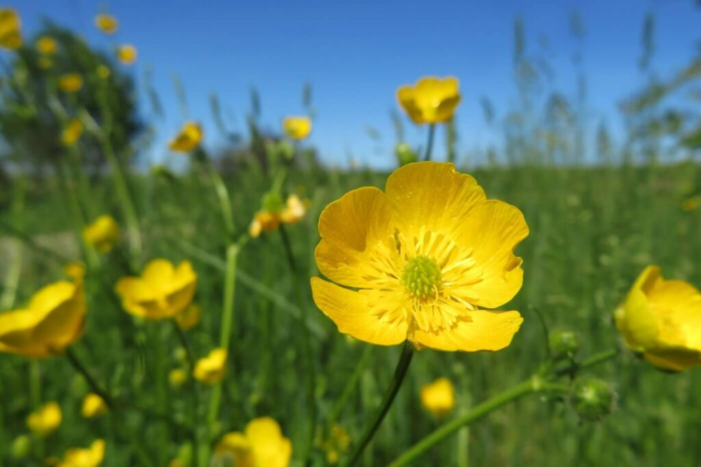 Ultimate Guide to Buttercup Flowers