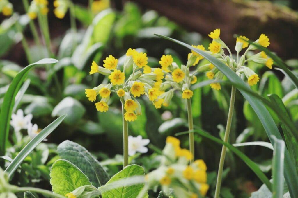 Ultimate Guide to Cowslip Flowers (Primula veris)