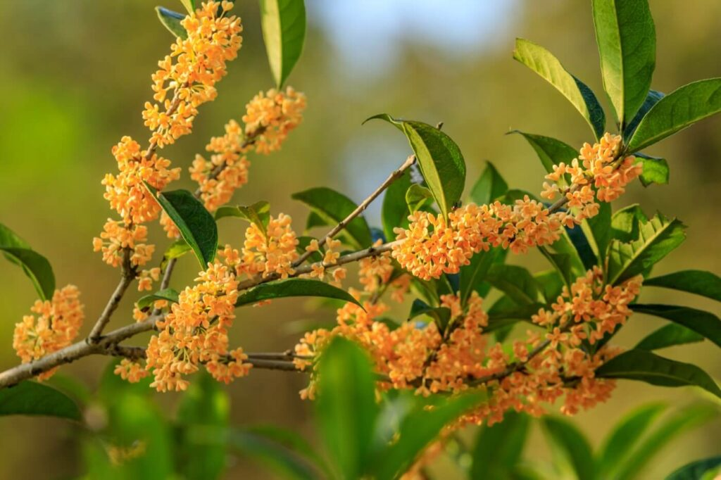 Ultimate Guide to Osmanthus Flower Meaning & Symbolism